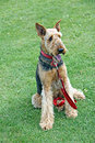 Airedale terrier dog Royalty Free Stock Photo