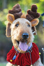 Airedale terrier dog in christmas reindeer ears a large beautiful pedigree adult dressed up fancy dress costume for the Royalty Free Stock Photos