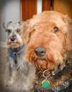 Airedale terrier dog with miniature schnauzer Royalty Free Stock Image