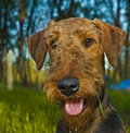 Airedale terrier dog portrait  Stock Image