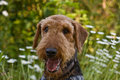 Airedale terrier dog in wildflowers Stock Photo