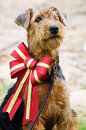 Airedale Terrier fluffy puppy dog in big sparkly Christmas bow Royalty Free Stock Photo