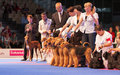 Airedale terriers in the show ring july th paris france stack at world dog Royalty Free Stock Photography