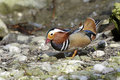 Aix galericulata, mandarin duck Royalty Free Stock Photos