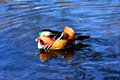 Aix galericulata mandarin duck in the lake Stock Image