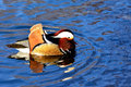 Aix galericulata mandarin duck in the lake Royalty Free Stock Photos