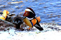 Aix galericulata mandarin duck in the lake mating Royalty Free Stock Photo