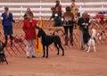 AKC Dog Show Royalty Free Stock Photo