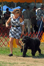 Akc dog show woman showing bouvier les flanders in ring at dogshow Royalty Free Stock Photo