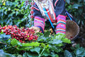 Akha woman picking red coffee beans on bouquet Royalty Free Stock Photo