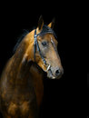 Akhal teke horse on a black Stock Photography