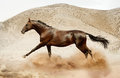 Akhal teke horse running in desert the Royalty Free Stock Image