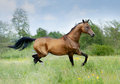 Akhal teke horse the runs free Royalty Free Stock Photography