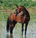 Akhal-teke horse in water Royalty Free Stock Photography