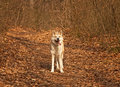 Akita dog Royalty Free Stock Photography
