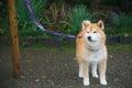 Akita Dog or Akita Inu (Hachi) at park Royalty Free Stock Photo