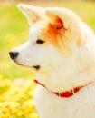 Akita dog akita inu japanese akita puppy sitting in green grass outdoor Stock Photography
