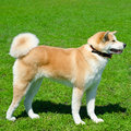 Akita dog Royalty Free Stock Photo