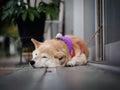 Akita dog in Kobe Royalty Free Stock Photo