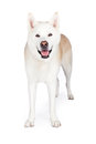 Akita Dog Standing Against White Background Royalty Free Stock Photo