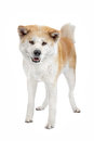 Akita Inu dog Royalty Free Stock Photos