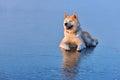 Akita Inu dog sitting on frozen lake in winter season at sunset Royalty Free Stock Photo