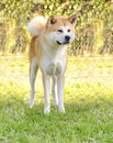 Akita inu a front en face view of a young beautiful white and red dog standing on the grass japanese dogs are distinctive Royalty Free Stock Photography