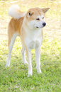 Akita inu a front profile view of a young beautiful white and red dog standing on the grass japanese dogs are distinctive Royalty Free Stock Photos