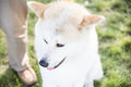 Akita inu portrait portait of a dog waiting to enter a competition Royalty Free Stock Images