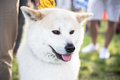 Akita inu portrait portait of a dog waiting to enter a competition Stock Image