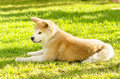 Akita inu a profile view of a young beautiful white and red puppy dog sitting on the grass japanese dogs are distinctive for Royalty Free Stock Photos