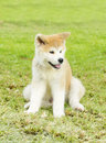Akita inu a profile view of a young beautiful white and red puppy dog sitting on the lawn japanese dogs are distinctive for Stock Photo