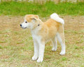 Akita inu a profile view of a young beautiful white and red puppy dog standing on the lawn japanese dogs are distinctive for Royalty Free Stock Images