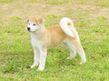 Akita inu a profile view of a young beautiful white and red puppy dog standing on the lawn japanese dogs are distinctive for Stock Images