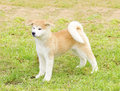 Akita inu a profile view of a young beautiful white and red puppy dog standing on the lawn japanese dogs are distinctive for Stock Photos