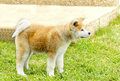Akita inu a profile view of a young beautiful white and red puppy dog standing on the lawn japanese dogs are distinctive for Stock Photo