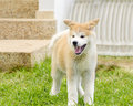 Akita inu a profile view of a young beautiful white and red puppy dog standing on the lawn yawning and having its mouth open Royalty Free Stock Photo