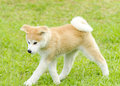 Akita inu a profile view of a young beautiful white and red puppy dog walking on the lawn japanese dogs are distinctive for Royalty Free Stock Image