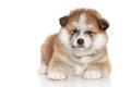 Akita inu puppy Royalty Free Stock Image