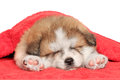 Akita inu puppy sleep under blanket Royalty Free Stock Images