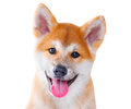 Akita inu purebred puppy dog shiba inu isolated on white background Stock Photography
