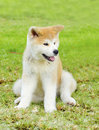 Akita inu a young beautiful white and red puppy dog sitting on the lawn japanese dogs are distinctive for their oriental Royalty Free Stock Images