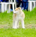 Akita inu a young beautiful white and red puppy dog standing on the lawn japanese dogs are distinctive for their oriental Stock Image