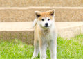 Akita inu a young beautiful white and red puppy dog standing on the lawn japanese dogs are distinctive for their oriental Royalty Free Stock Photography