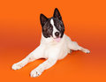 Akita lying while panting over orange background portrait of black mask Royalty Free Stock Photography
