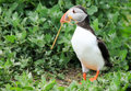 Al puffin standing up tall Royalty Free Stock Photo
