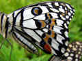 Ala della farfalla Fotografie Stock