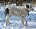 Alabai dog in winter day Stock Photography
