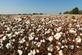 Alabama Cotton Field Stock Photo
