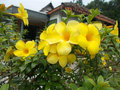 Alamanda flowers Royalty Free Stock Photo